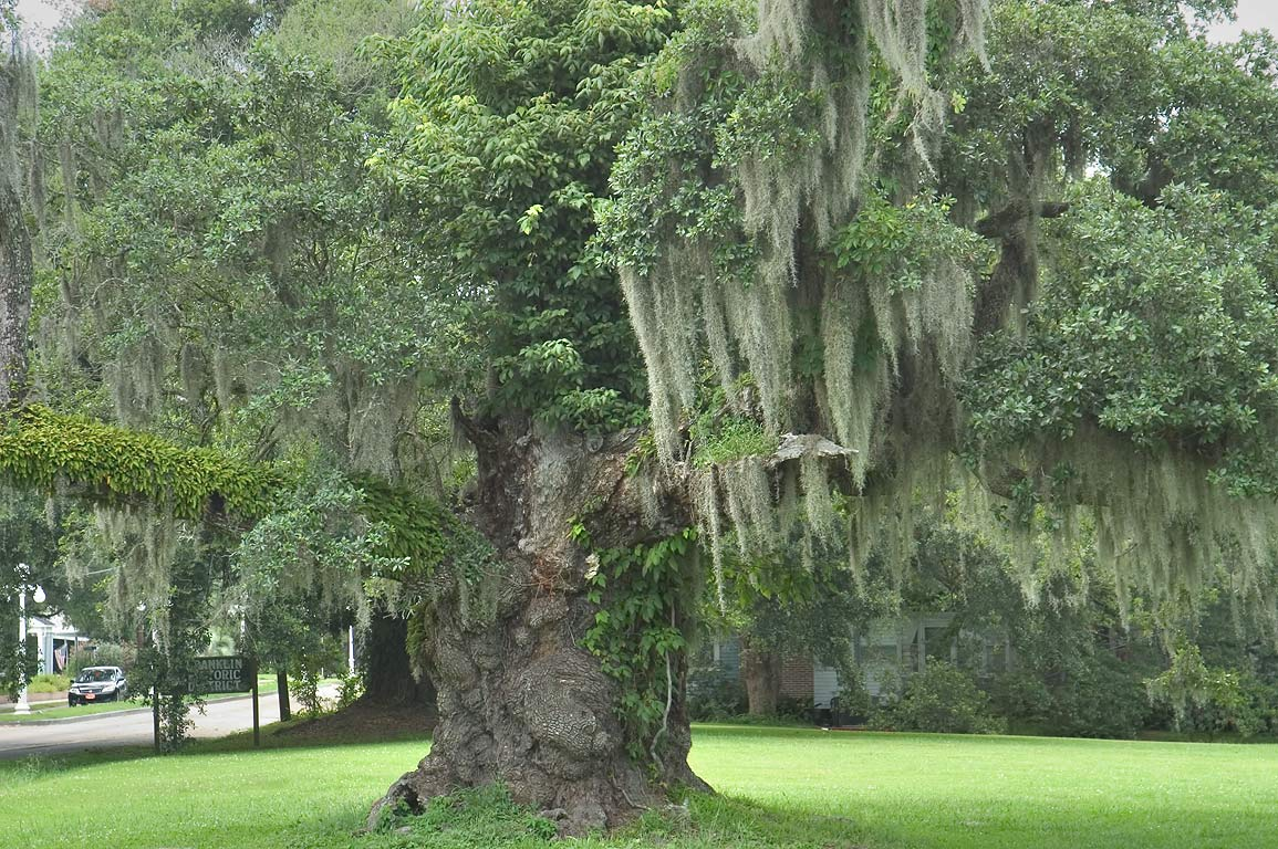 A live oak at an entrance of Franklin, view from Rd. 182. Louisiana