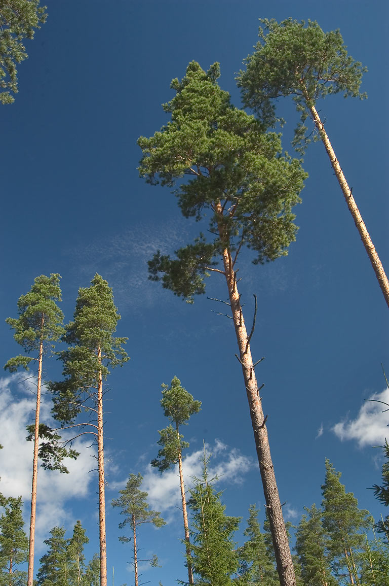 Recently cut pine forest near Kanneliarvi, 40 miles north-west from St.Petersburg, Russia