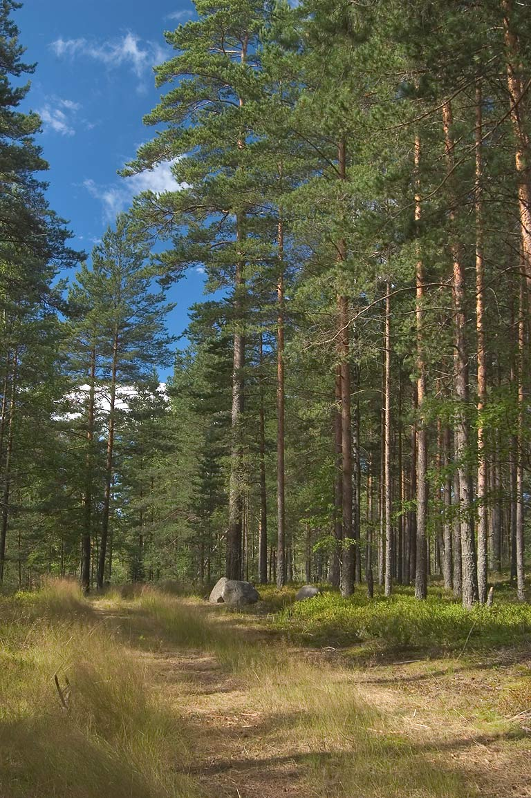 A road on sandy hills covered by pine forest near...north-west from St.Petersburg, Russia