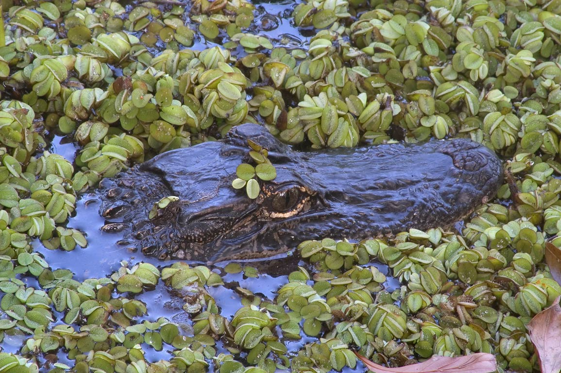 Alligator in duckweed of Kenta Canal, view from...south from New Orleans. Louisiana