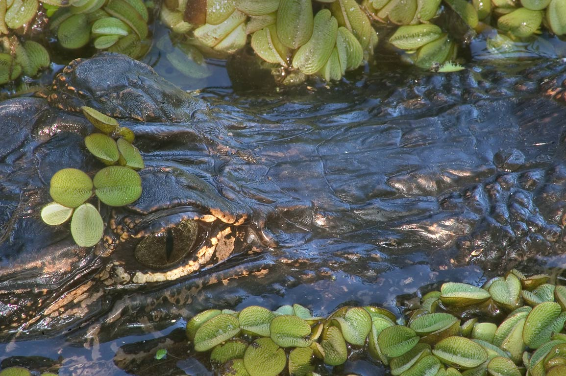 Alligator (zoomed) in Kenta Canal, view from...south from New Orleans. Louisiana