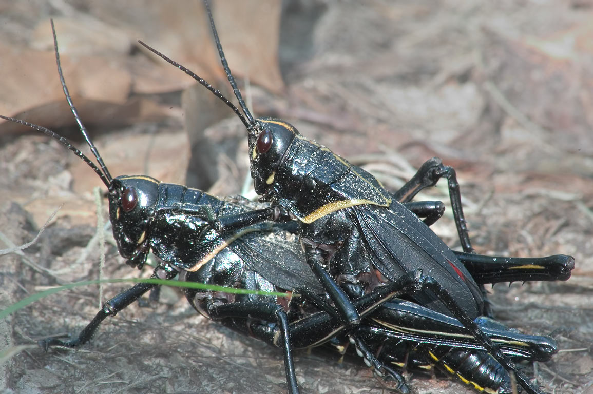 Black grasshoppers near Bayou Coquille Trail in...south from New Orleans. Louisiana
