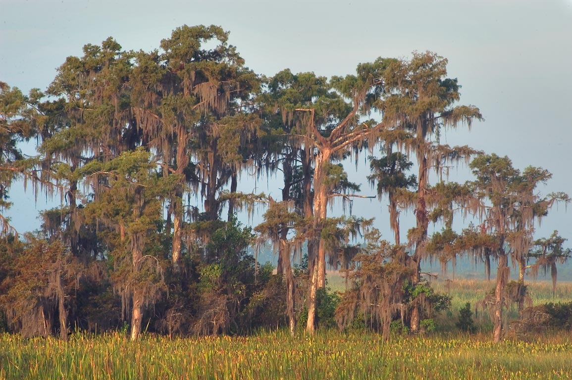 Group of cypresses as seen from Marsh overlook in...south from New Orleans. Louisiana