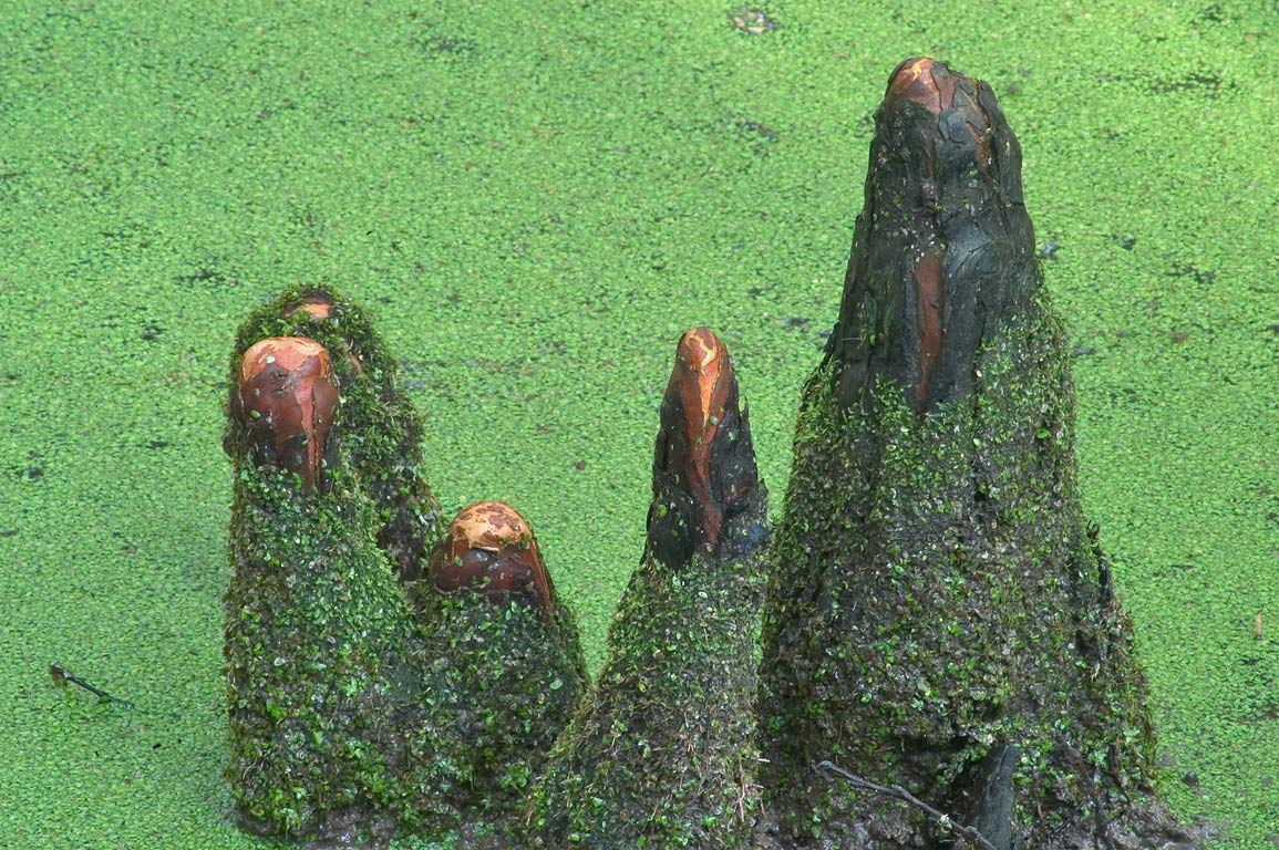 Cypress knees near Ring Levee Trail in Barataria...south from New Orleans. Louisiana