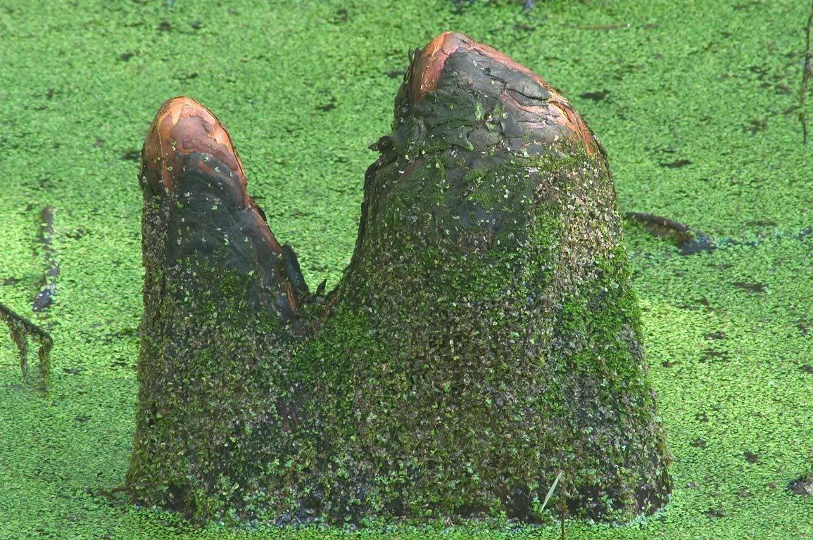 Cypress knees at Ring Levee Trail in Barataria Preserve, south from New Orleans. Louisiana
