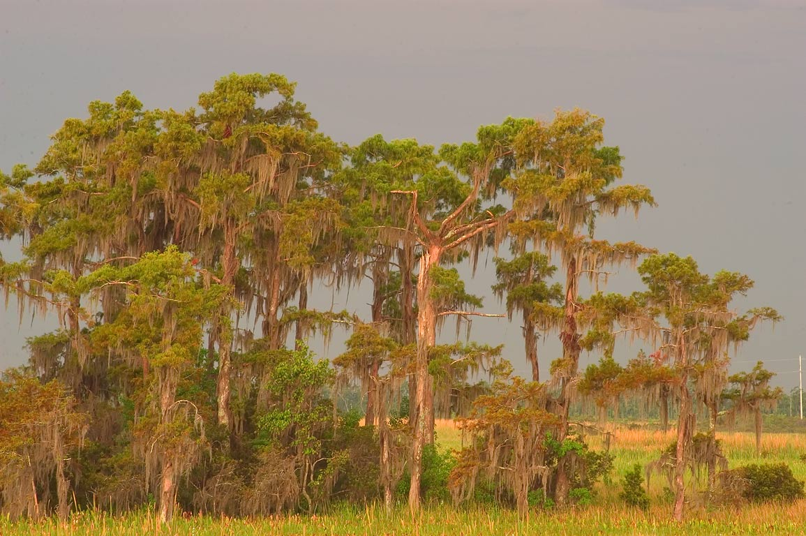 Cypress swamp, from marsh overlook in Barataria...at morning. New Orleans, Louisiana