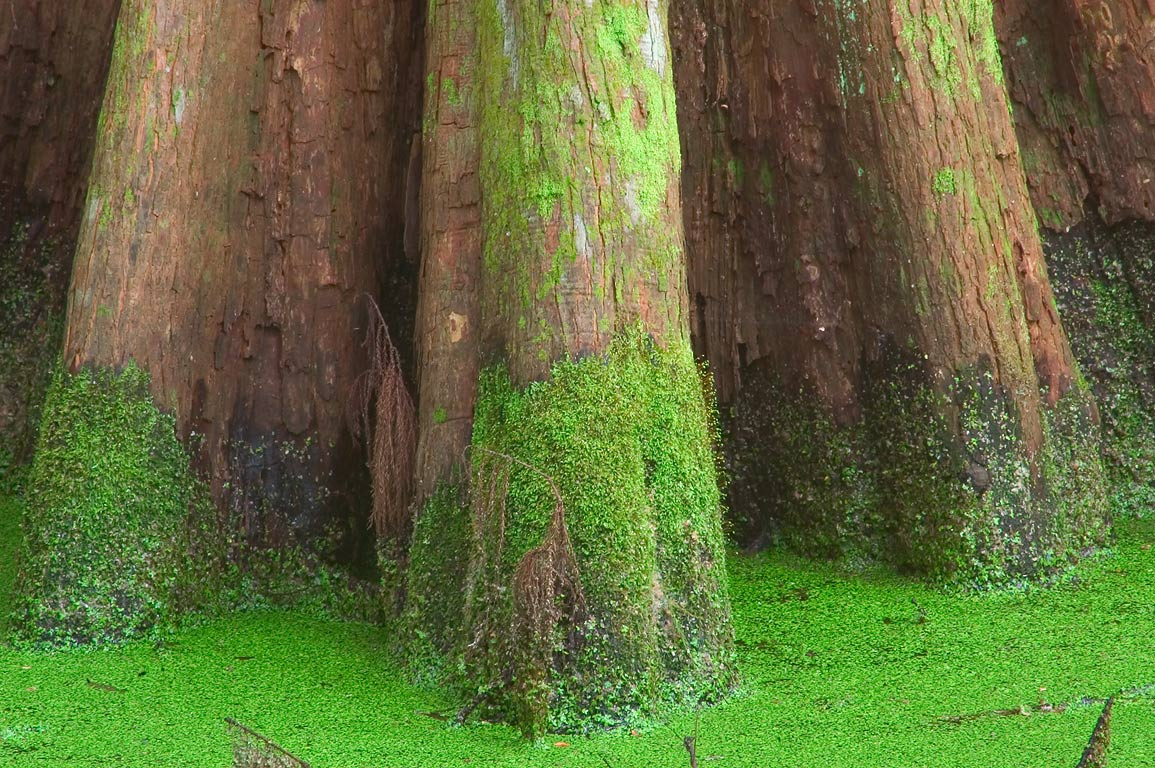 A cypress trunk covered by duckweed near Ring...Preserve. New Orleans, Louisiana