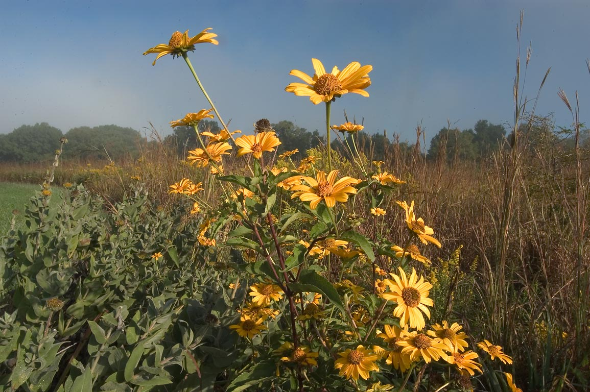 Sunflowers near High Ridge Trail in Rock Bridge State Park. Columbia, Missouri