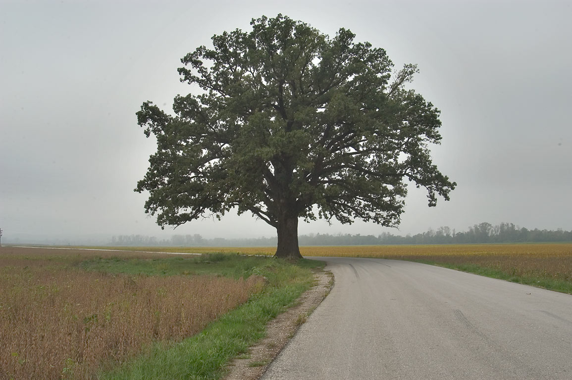 burr oak Tree facts and pictures - bud bark leaves fruit flowers twigs seeds.