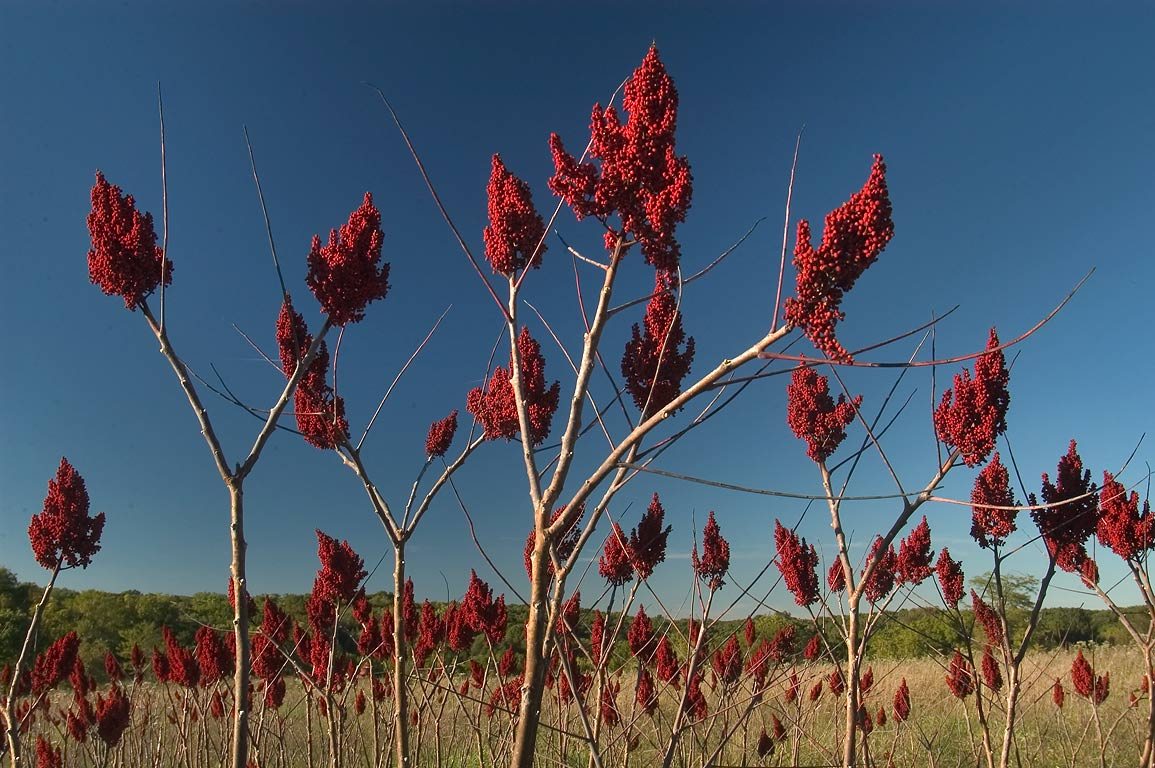 Staghorn sumac (Rhus typhina) near High Ridge...Bridge State Park. Columbia, Missouri