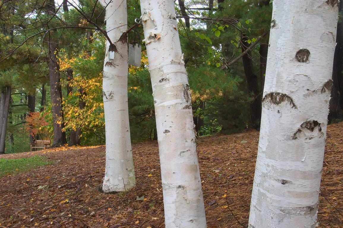 Trunks of birch trees near Beech Loop in F. R. Newman Arboretum. Ithaca, New York