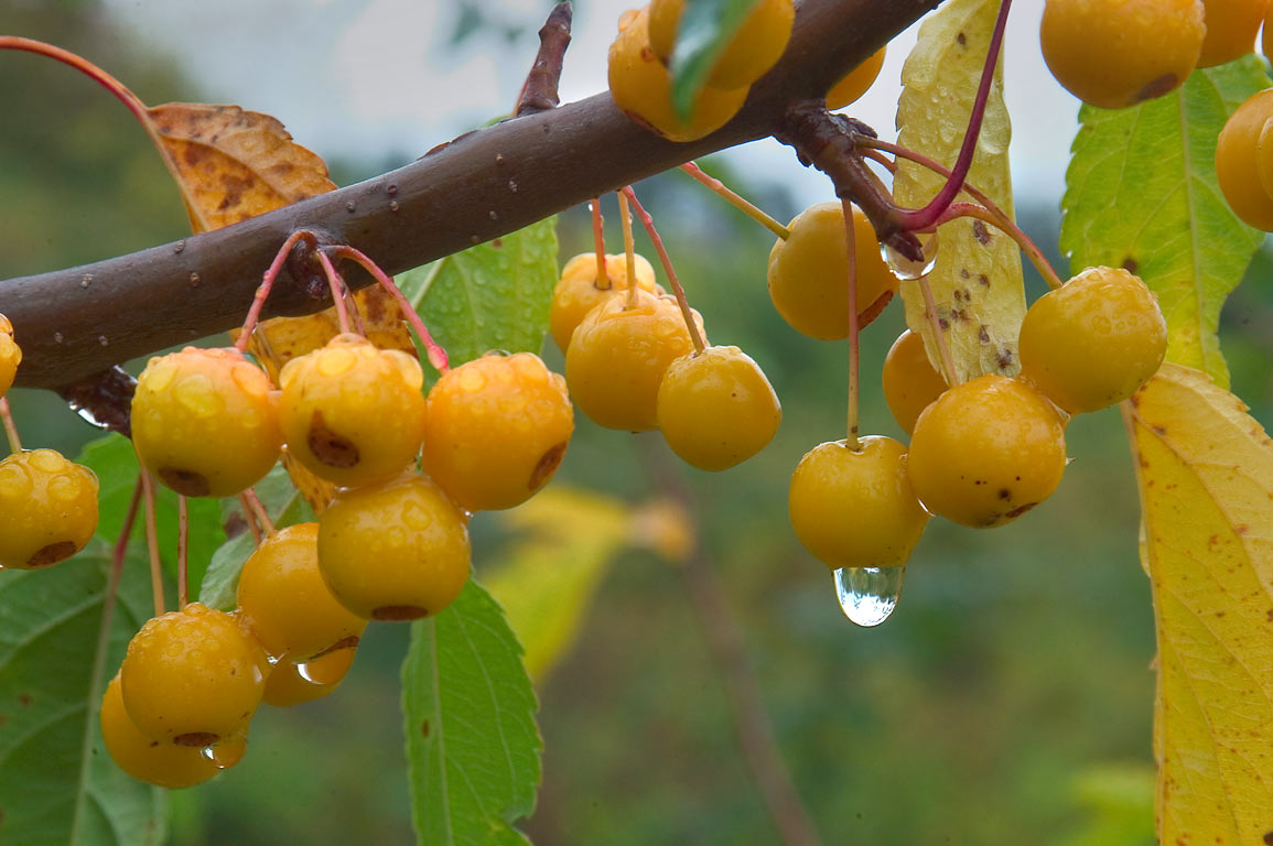 Yellow fruits in Jennings Crabapple Collection in F. R. Newman Arboretum. Ithaca, New York