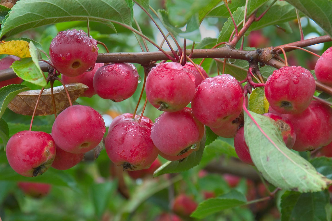 Red fruits in Jennings Crabapple Collection in F. R. Newman Arboretum. Ithaca, New York