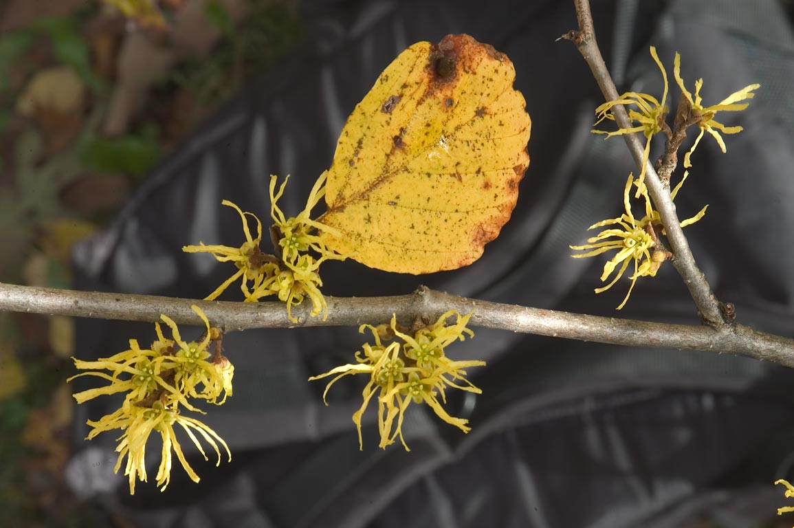 Blooming witch hazel near Plantations Rd.. Ithaca, New York