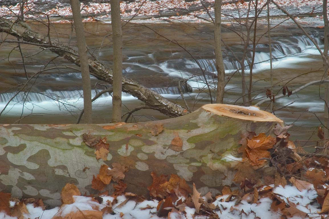Fallen sycamore tree in snow near Gorge Trail in Taughannock Falls State Park. New York