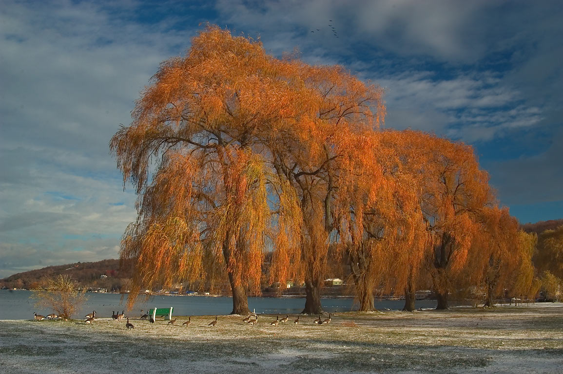 Willow trees and Cayuga Lake in Stewart Park. Ithaca, New York