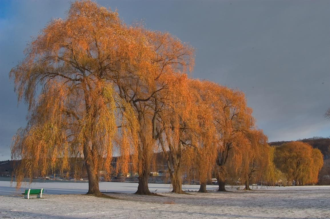 Willow trees in Stewart Park after snowfall. Ithaca, New York