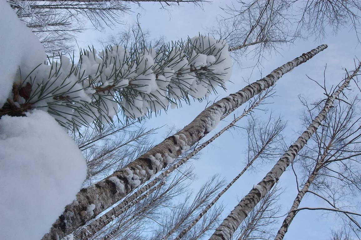 Birches and pines in snow in Sosnovka Park. St.Petersburg, Russia