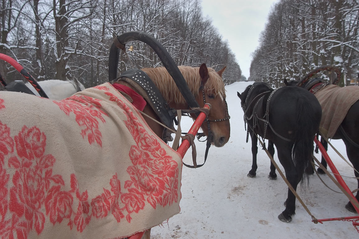 Horses for tourist rides in Pavlovsky Park. Pavlovsk, suburb of St.Petersburg, Russia
