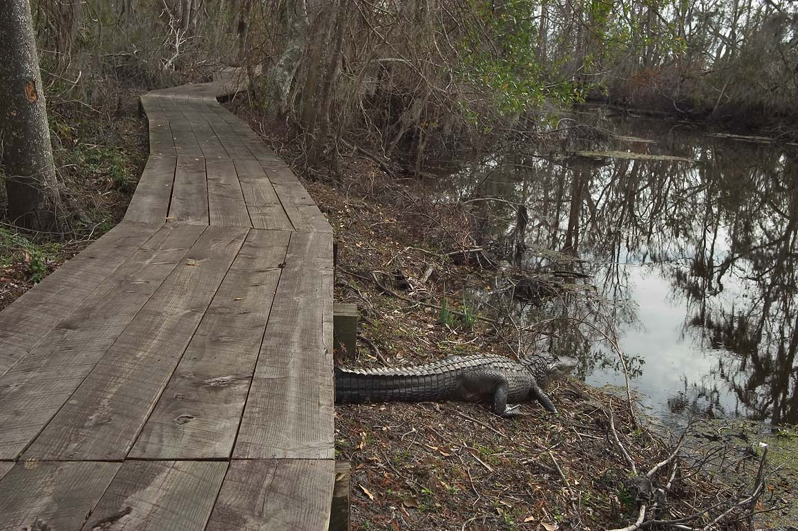 An alligator sunning near Marsh Overlook Trail in...south from New Orleans. Louisiana