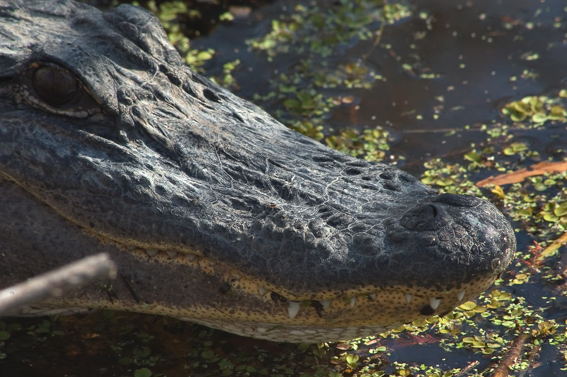 An alligator in Kenta Canal in Barataria Preserve...South from New Orleans, Louisiana
