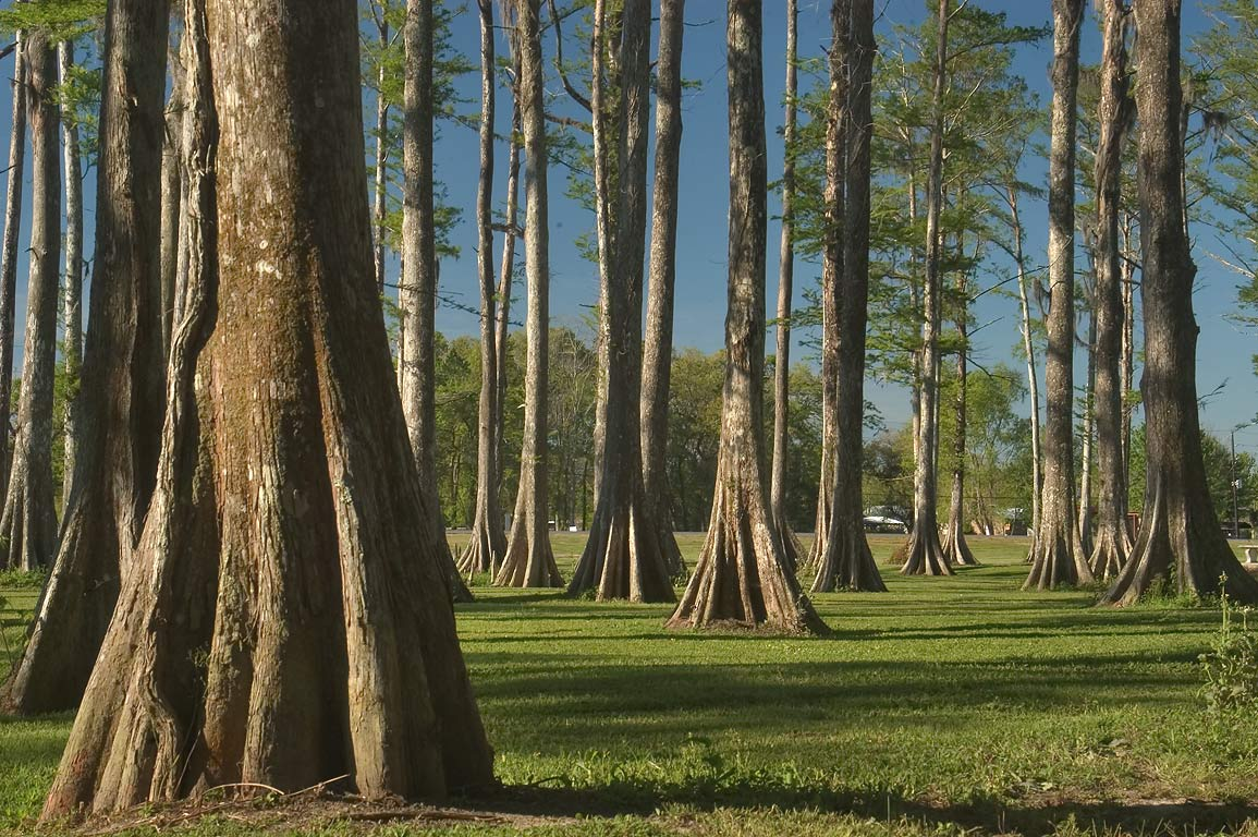 Cypresses at Bayou L'Ourse Nature Trail near Rd...City, Assumption Parish. Louisiana