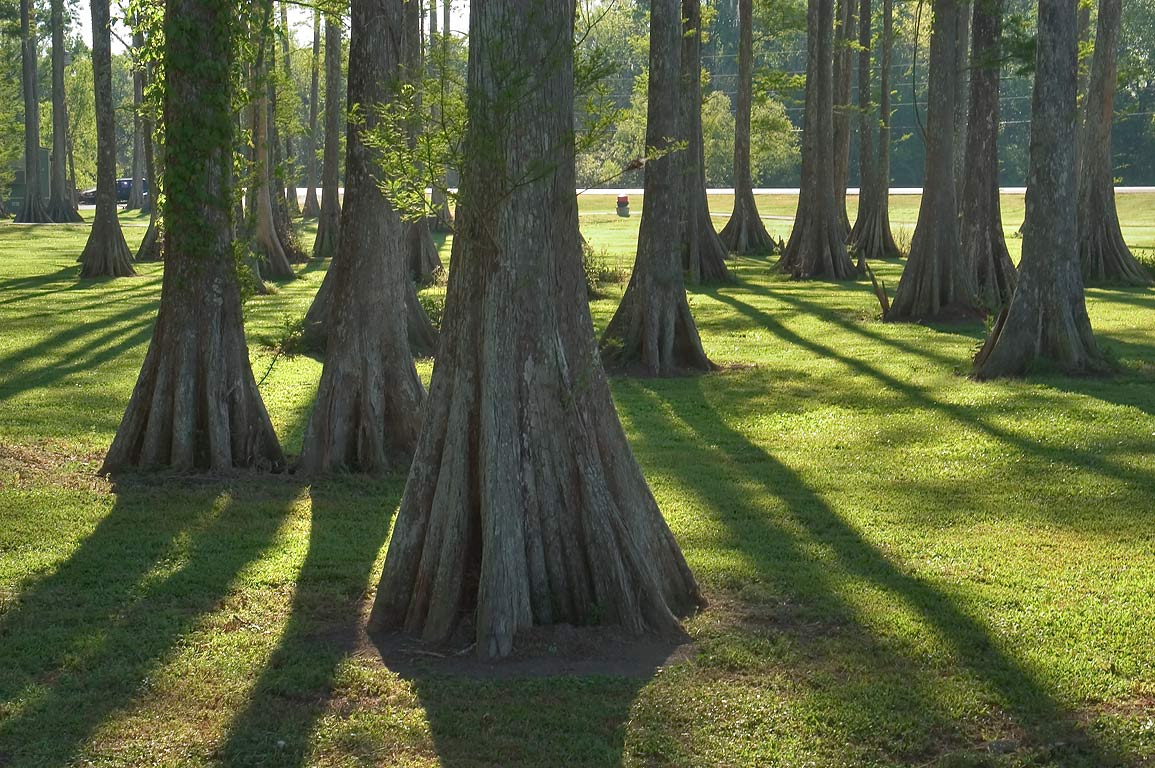 Cypress forest at Bayou L'Ourse Nature Trail near...City, Assumption Parish. Louisiana