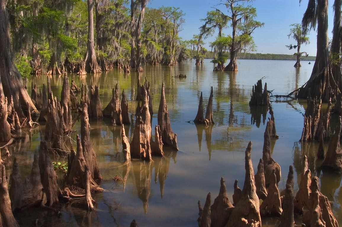 Cypress knees in Lake Palourde in Brownell Memorial Park. Morgan City, Louisiana