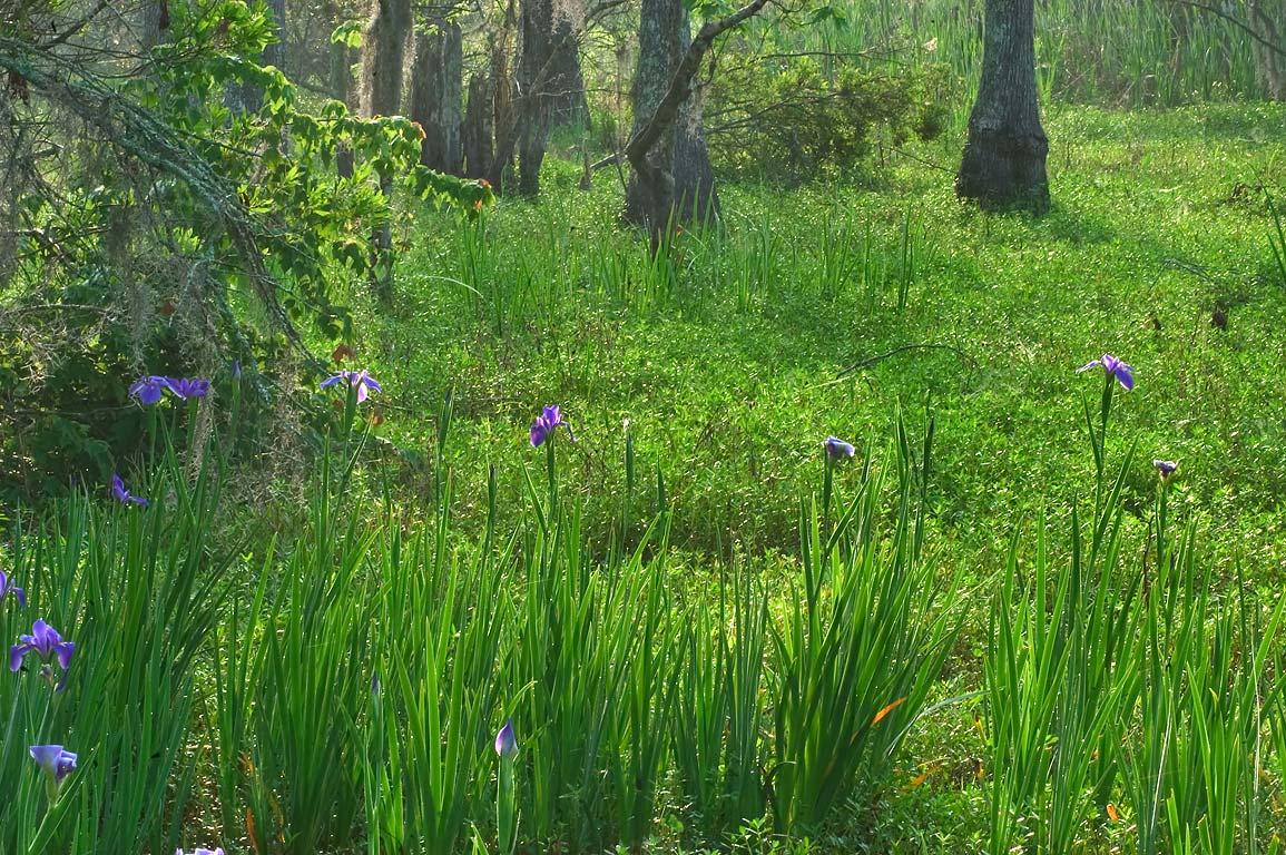 Blue iris flowers from Bayou Coquille Trail in...south from New Orleans. Louisiana