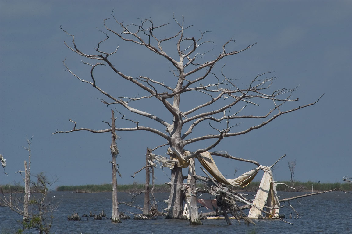 A dead cypress tree in Mississippi River Delta...Venice. Plaquemines Parish, Louisiana