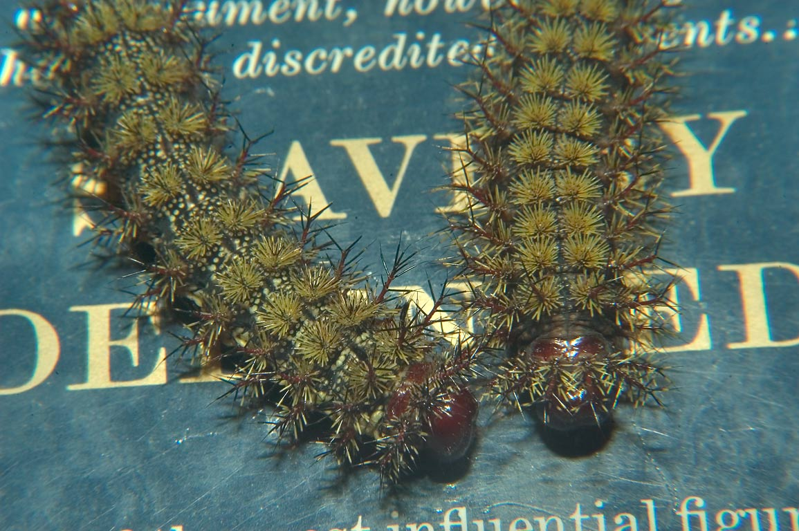 Buck moth caterpillars collected on St.Charles Ave., on a book. New Orleans, Louisiana