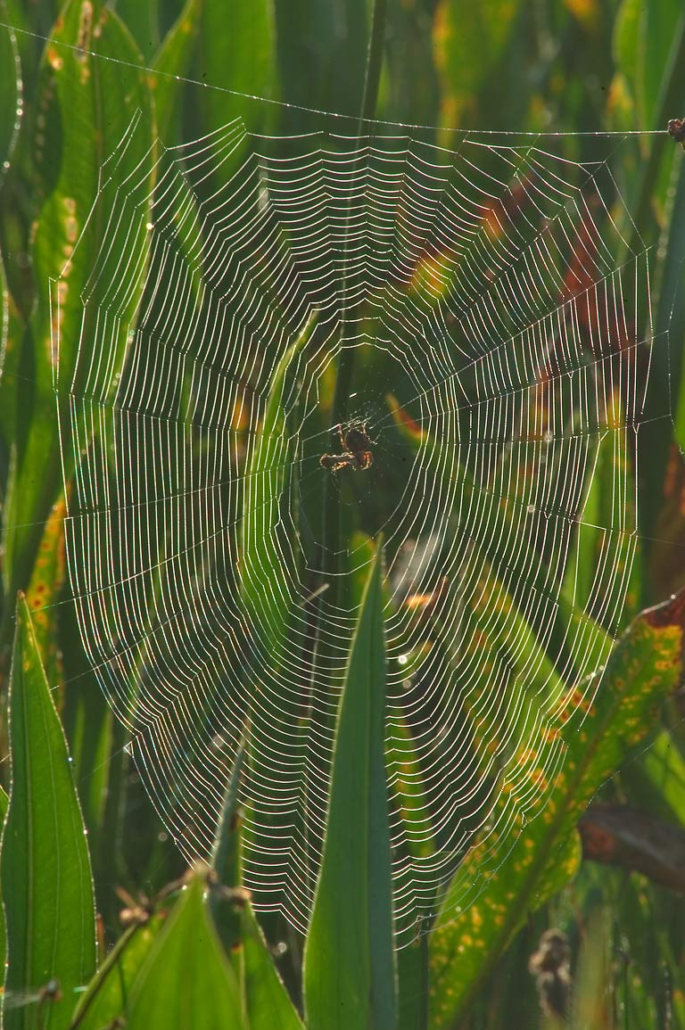 Spider web, view from Marsh Overlook Trail in...south from New Orleans, Louisiana