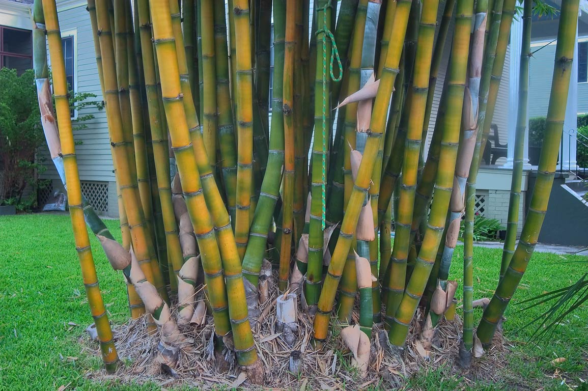 Bamboo shoots at 1028 Eleonore St. near Coliseum...neighborhood. New Orleans, Louisiana