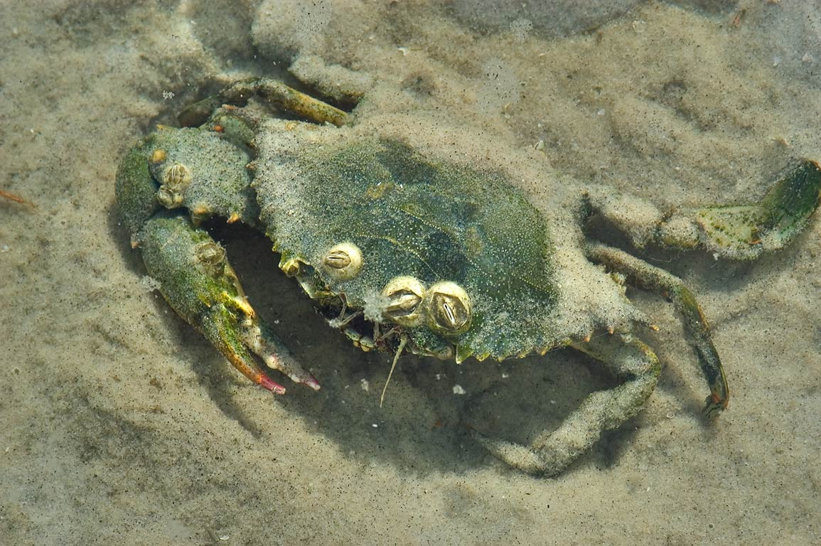 Green crab in flat area on north-east side of Ship Island. Mississippi