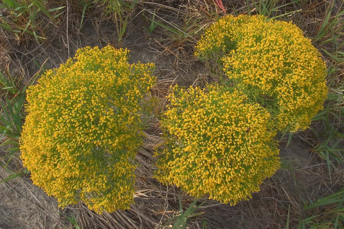 Yellow flowers in Ship Island. Mississippi