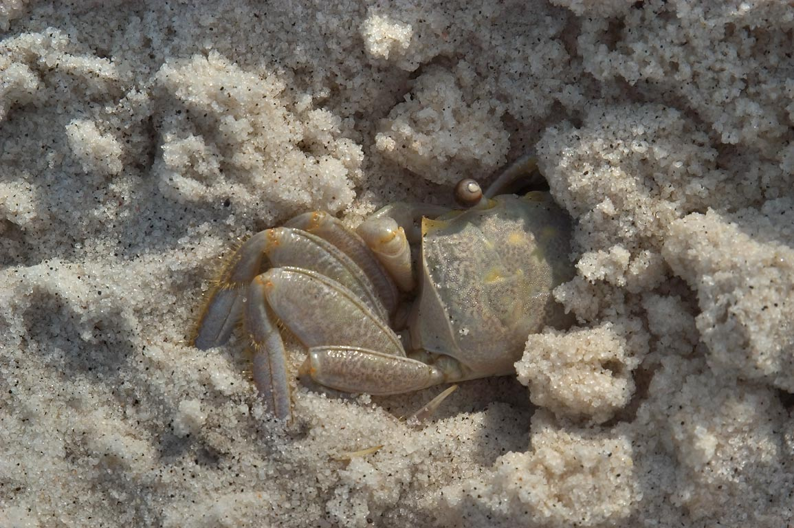 Sand fiddler crab on a beach in Ship Island. Mississippi