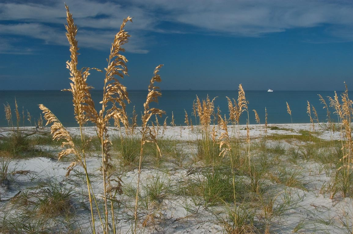 Sea oats (Uniola paniculata) on a beach of Ship Island. Mississippi