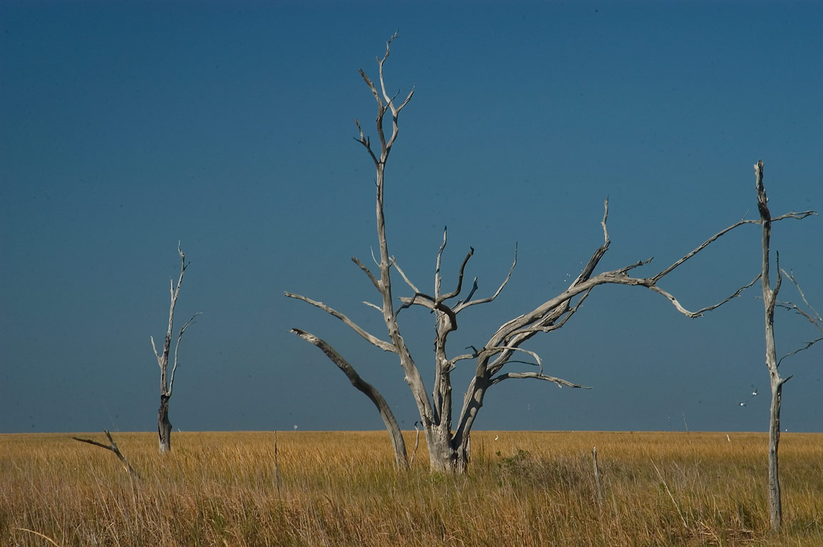 Dead cypress trees in a marsh near Highway 1 in Leeville. Lafourche Parish, Louisiana