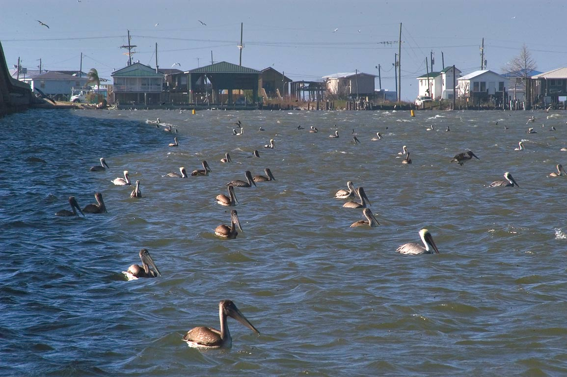 Pelicans near a bridge of Caminada Bay in Grand Isle. Jefferson Parish, Louisiana