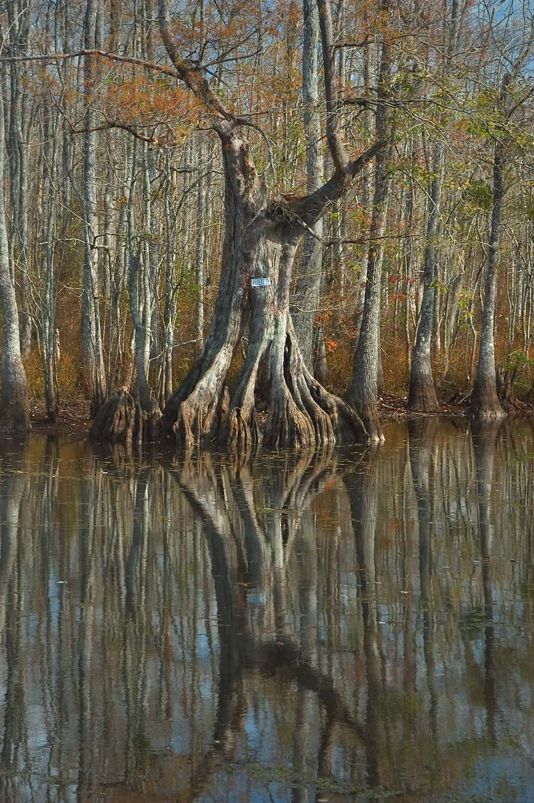 A cypress and water tupelo in Bayou Barbay, a...Maurepas. Livingston Parish, Louisiana