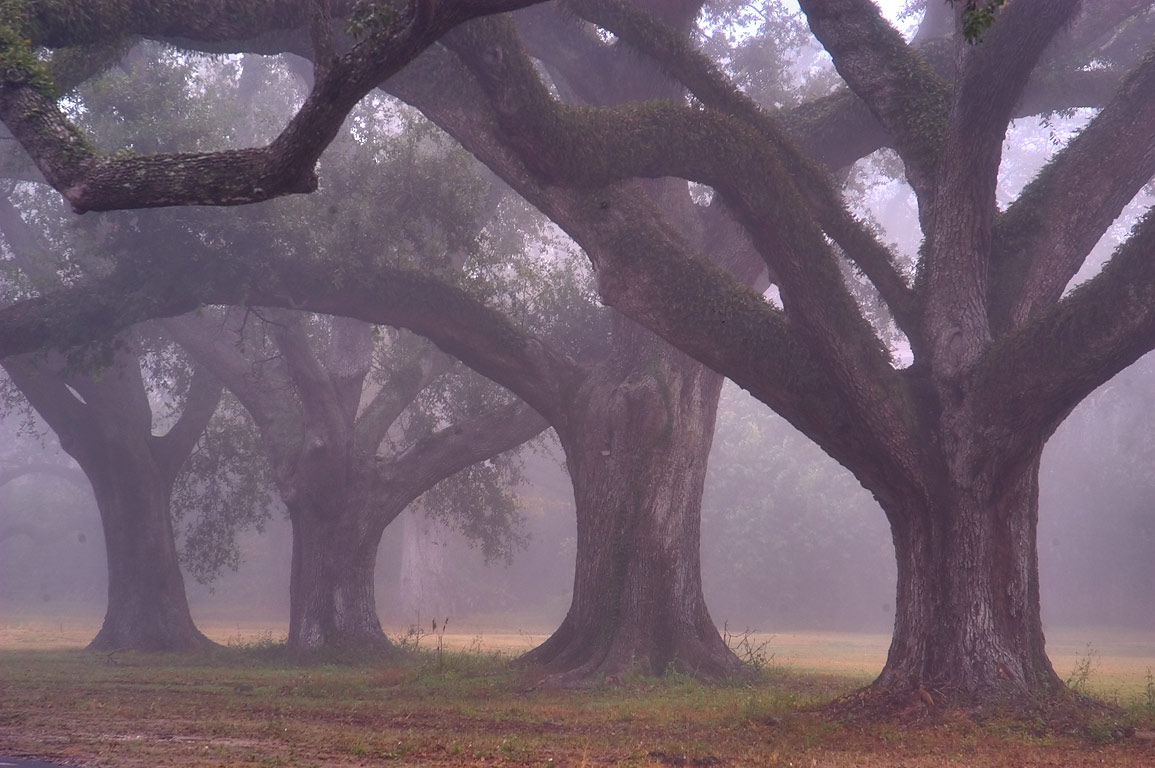 Live oaks along West Rd. of Audubon Park in fog. New Orleans, Louisiana