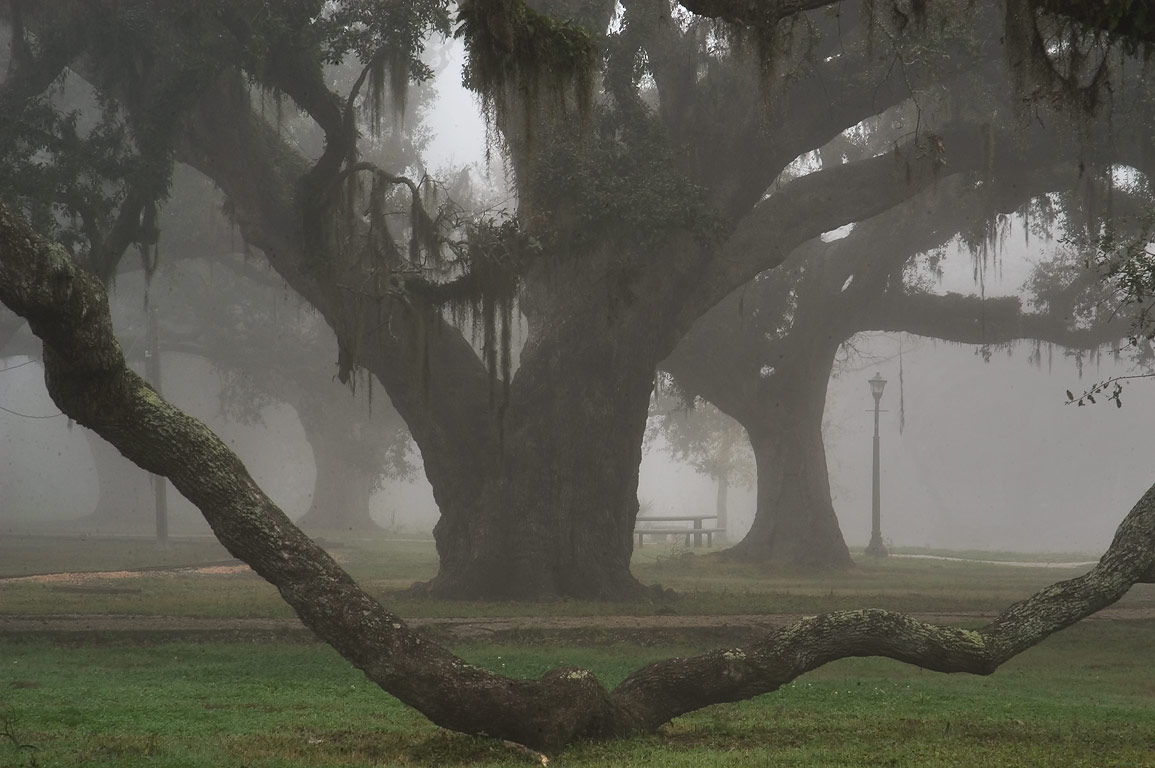 Live oaks in City Park near City Park Ave. in fog. New Orleans, Louisiana