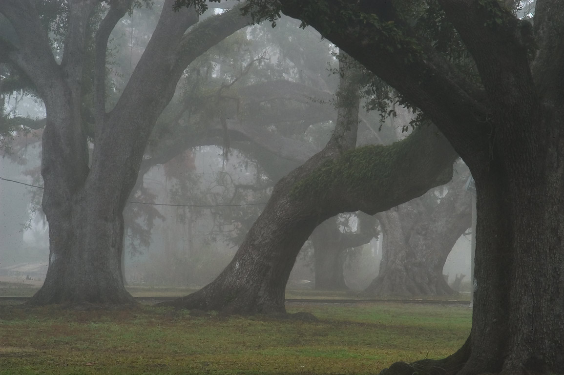 A tilted oak No. 89 and other oak trees in City...Ave. in fog. New Orleans, Louisiana