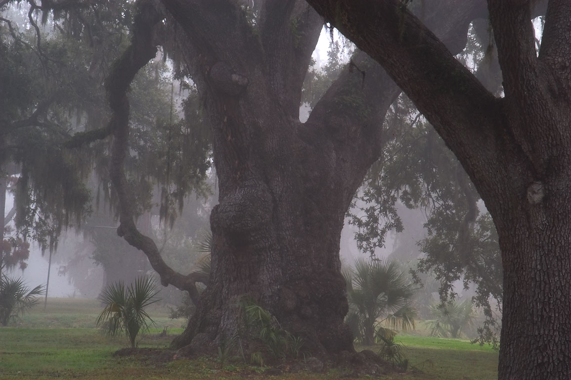 An oak near City Park Ave. in City Park in fog. New Orleans, Louisiana