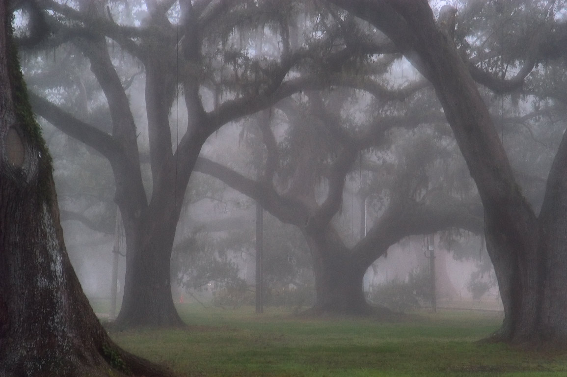 Oaks in City Park near City Park Ave. at morning in fog. New Orleans, Louisiana