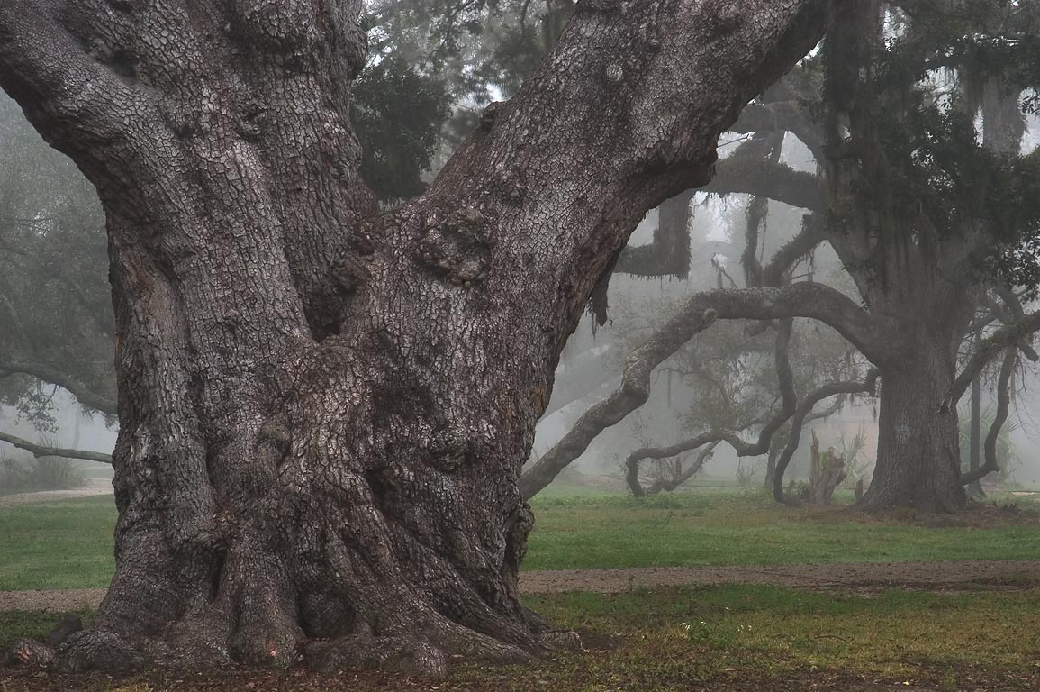 Old live oaks No. 101 and 107 in City Park near...morning in fog. New Orleans, Louisiana