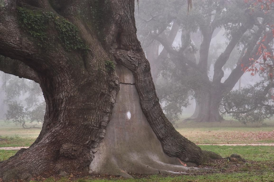 A patched live oak No. 83 in City Park near City...morning in fog. New Orleans, Louisiana