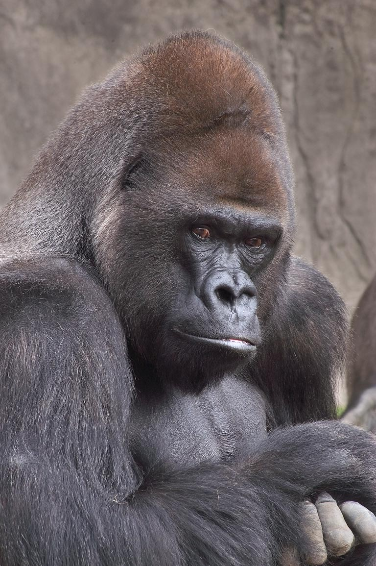 Black gorilla in Audubon Zoo. New Orleans, Louisiana