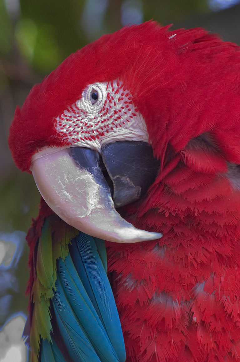 A parrot in Audubon Zoo. New Orleans, Louisiana