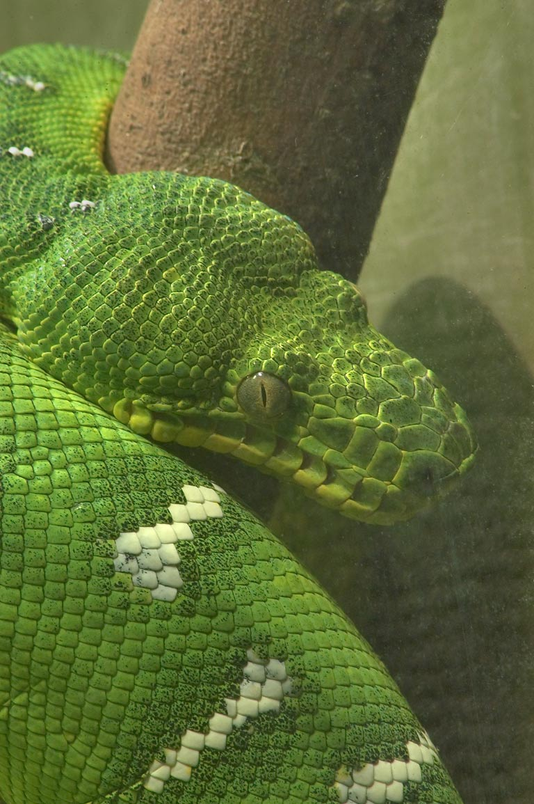 A green snake (zoomed) in Audubon Zoo. New Orleans, Louisiana